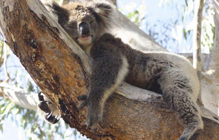 park koala